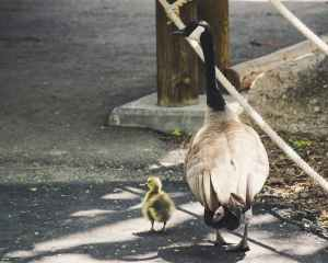 bird and chick on sidewalk